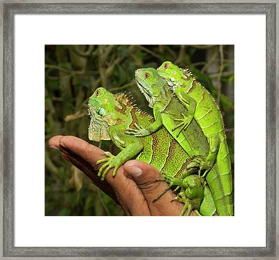 Tourist With Juvenile Green Iguanas Framed Print by William Sutton