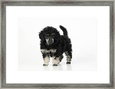 Toy Poodle Puppy Framed Print by John Daniels