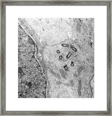 Trachea Framed Print by Marian Miller