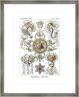 Trachomedusae Framed Print by Ernst Haeckel