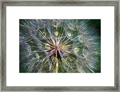 Tragopogon Dubius Yellow Salsify Flower Fruit Seed Framed Print by Karon Melillo DeVega