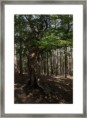 Trail Guardian - An Ancient Beech Tree In A Pine Forest Framed Print by Georgia Mizuleva
