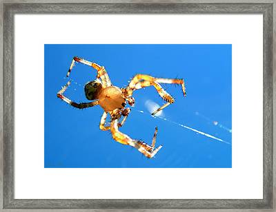 Trapeze Spider Framed Print by Christina Rollo