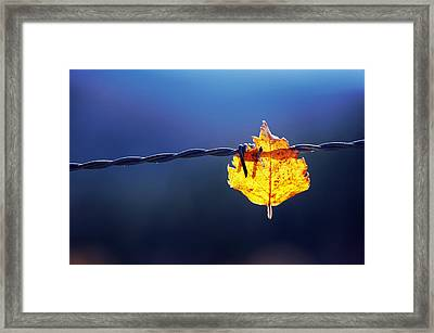 Trapped Leaf On Barbed Wire Framed Print by Mikel Martinez de Osaba