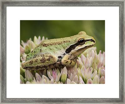 Tree Frog On Sedum Framed Print by Jean Noren