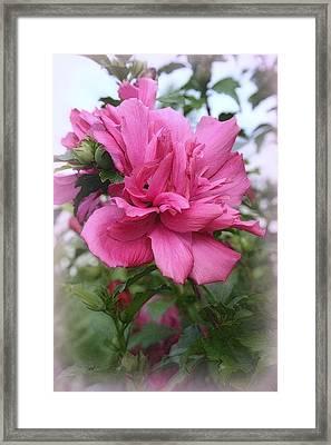 Tree Rose Of Sharon Framed Print by Kay Novy