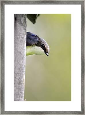 Tree Swallow Closeup Framed Print by Christina Rollo