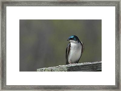 Tree Swallow  Framed Print by James Hammen