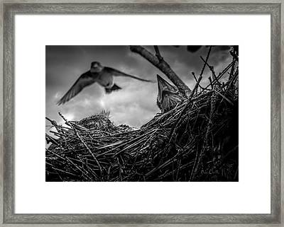Tree Swallows In Nest Framed Print by Bob Orsillo