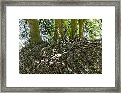 Trees And Roots Wiltshire England Framed Print by Robert Preston