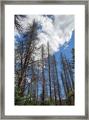 Trees Killed By Pine Beetle Outbreak Framed Print by Jim West