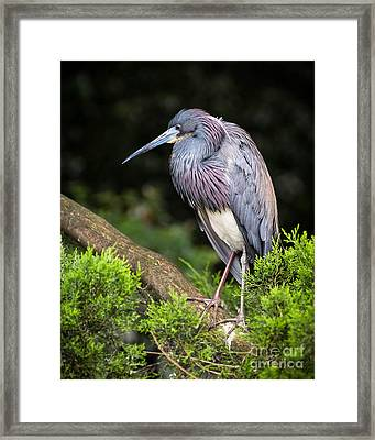 Tri Colored Heron Framed Print by Caisues Photography