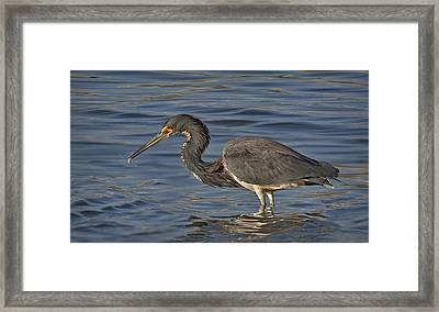 Tri Colored Heron Fishing Framed Print by Susan Candelario