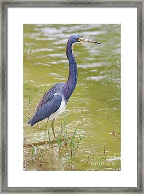 Tri Colored In Lake Framed Print by Deborah Benoit