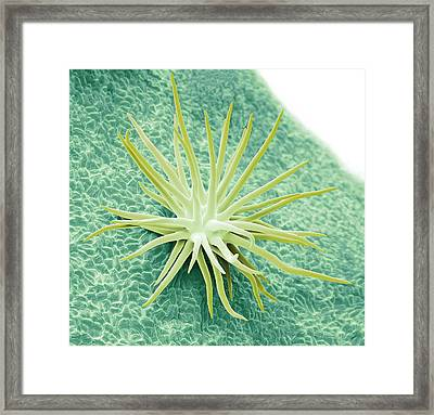 Trichome Framed Print by Steve Gschmeissner