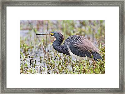 Tricolored Heron Framed Print by Bob Gibbons