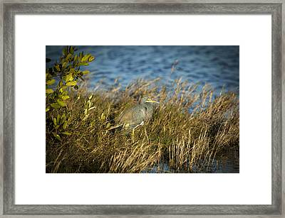 Tricolored Heron Hunting Merritt Island Florida Framed Print by Rich Franco