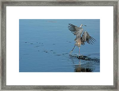 Tricolored Heron Landing On Water Framed Print by Bob Gibbons
