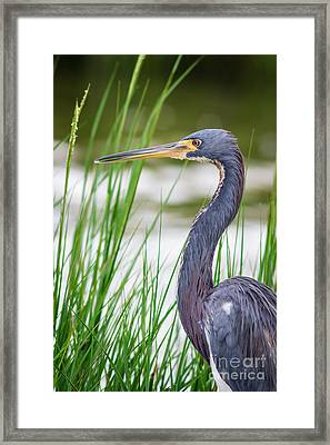 Tricolored Heron Framed Print by Robert Frederick