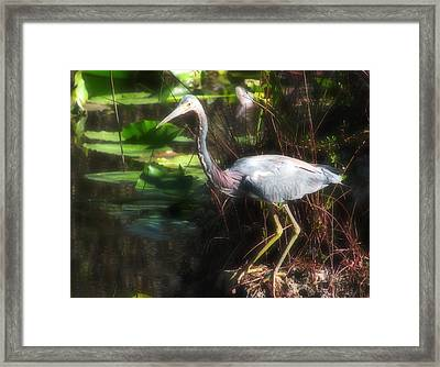 Tricolored Heron  Framed Print by Rudy Umans