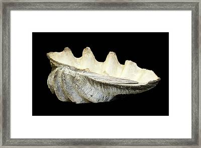 Tridacna Gigas Framed Print by Natural History Museum, London