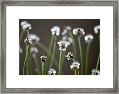 Tridax Daisy (tridax Procumbens) Framed Print by K Jayaram