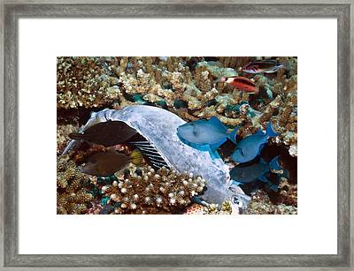 Triggerfish Feeding On A Dead Framed Print by Science Photo Library