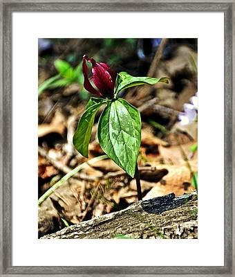 Trillium Deluxe Framed Print by Marty Koch