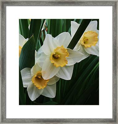 Trio Of Daffodils Framed Print by Bruce Bley