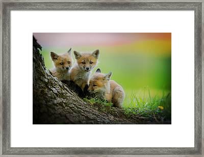 Trio Of Fox Kits Framed Print by Everet Regal