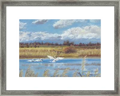 Trio Of Trumpeter Swans  Framed Print by Jymme Golden