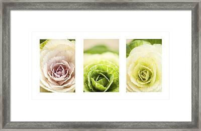Triptych Of Ornamental Cabbages Framed Print by Anne Gilbert