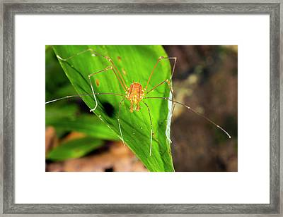 Tropical Harvestman On A Leaf Framed Print by Dr Morley Read