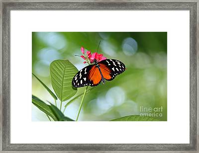 Tropical Hecale Butterfly Framed Print by Karen Adams