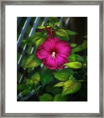 Tropical Hibiscus Framed Print by Brenda Bryant