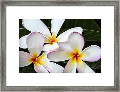 Tropical Maui Plumeria Framed Print by Susan Candelario