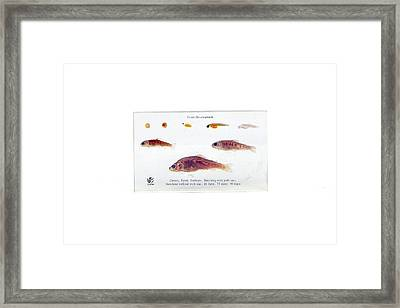 Trout Development Framed Print by Gregory Davies