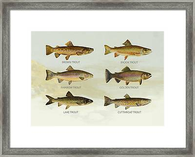 Trout Species Framed Print by Aged Pixel