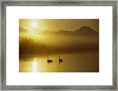 Trumpeter Swan Pair At Sunset Framed Print by Michael Quinton