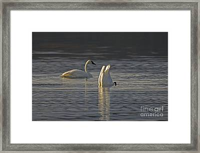 Trumpeter Swans Framed Print by Ron Sanford