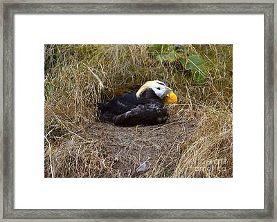Tufted Puffin Framed Print by Mike  Dawson
