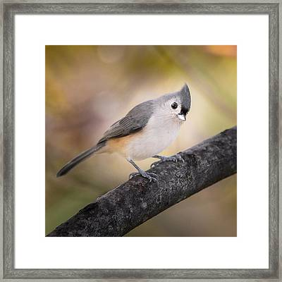 Tufted Titmouse Framed Print by Bill Wakeley