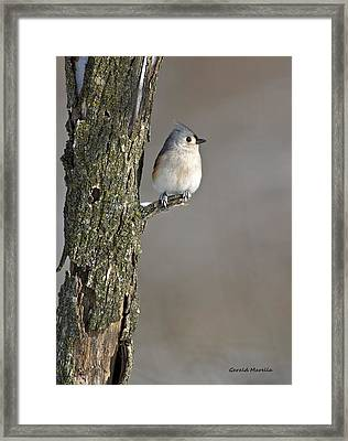 Tufted Titmouse Framed Print by Gerald Marella
