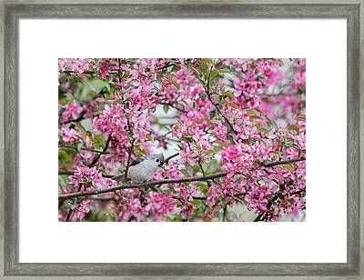 Tufted Titmouse In A Pear Tree Framed Print by Bill Wakeley