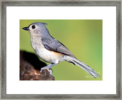 Tufted Titmouse Parus Bicolor Framed Print by Millard H. Sharp