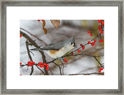 Tufted Titmouse (parus Bicolor Framed Print by Richard and Susan Day