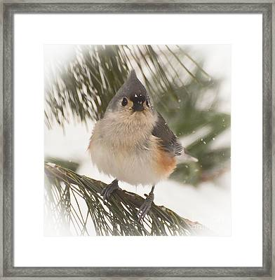Tufted Titmouse Snow Face Framed Print by Kerri Farley