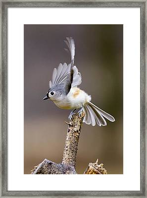 Tufted Titmouse Takeoff Framed Print by David Lester