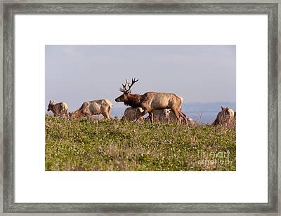 Tules Elks At Historic D Ranch At Point Reyes National Seashore California 5dimg2592 Framed Print by Wingsdomain Art and Photography