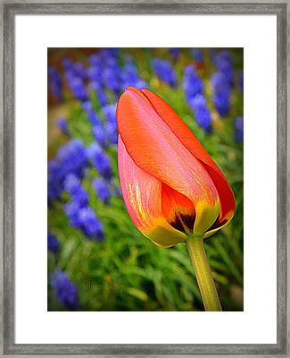 Tulip And Muscari  Framed Print by Chris Berry